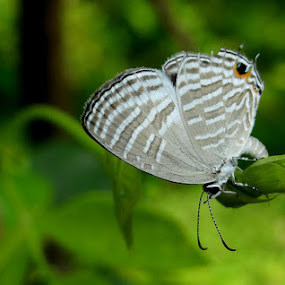 Butterfly by Dhanushka Weerasekara - Animals Insects & Spiders