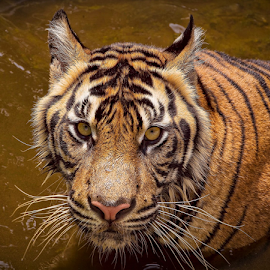 Steering... by Vincent Sinaga - Animals Lions, Tigers & Big Cats ( tiger, steering, sumatran tiger, mammal, animal )