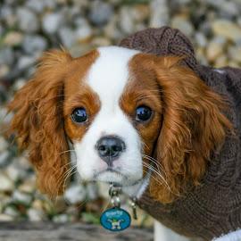 Ziggy Pop by Kathryn Potempski - Animals - Dogs Portraits ( pet photography, dog portrait, cute, king charles spaniel, eyes, pet portrait, pet, pets, fur, dog playing, brown, dog, friend, animal )