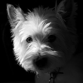 West Highland Terrier by Joe Proctor - Animals - Dogs Portraits ( highland, westie, white, terrier, portrait, black, west )