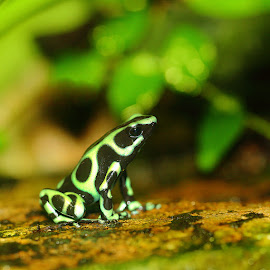 Dandrobate verte by Gérard CHATENET - Animals Amphibians