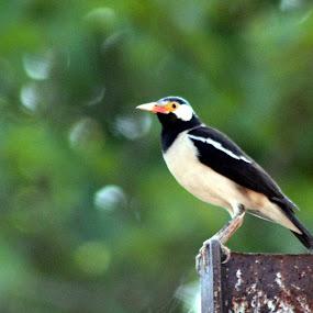 Asian Pied Starling (Pied Myna) अबलक मौना, तिलोरा by Hanif Tadvi - Animals Birds