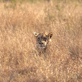 We see you. by Ryan Patterson - Animals Lions, Tigers & Big Cats