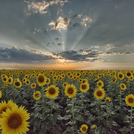 Sunflowers on the sun set by Ray Downs - Landscapes Sunsets & Sunrises ( sunset, sunflowers, sunflower, sunrise, sun )
