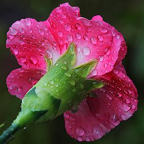 by Carmen Quesada - Flowers Single Flower ( macro, single, carnation, pink, flower )