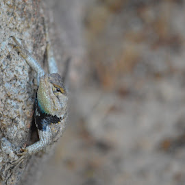 Hello! by Heather Walton - Novices Only Wildlife ( lizard, desert, widlife, rock, reptile )