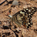 Common Lime Swallowtail