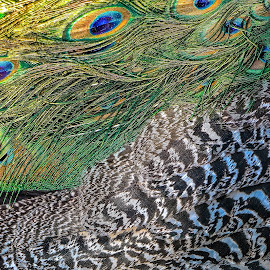 Animal Patterns by Paulo Peres - Abstract Patterns ( patterns, nature, colors, feathers, peacock )