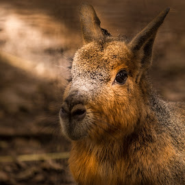 Patagonian mara. by Luca Alecu - Novices Only Wildlife ( animal )