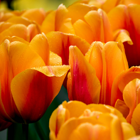 Tulips by Darren Sutherland - Flowers Flower Gardens (  )