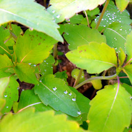 After the Rain by Lenora Popa - Nature Up Close Leaves & Grasses ( macro, green, nature up close, raindrops, leaves )