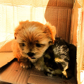 Brothers by Claudiu Petrisor - Animals - Dogs Puppies ( two, box, brown, puppy, black )