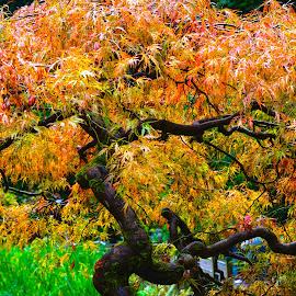 Burning Bush by Richard Duerksen - Nature Up Close Trees & Bushes ( scarlet leaves, portland, autumn, japanese gardens, burning bush )