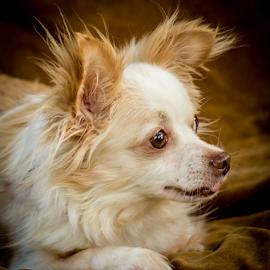 Sam by Myra Brizendine Wilson - Animals - Dogs Portraits ( canine, pet, dog, sam )