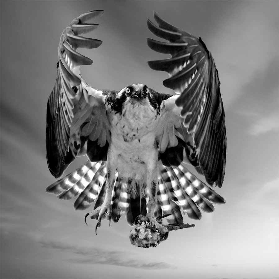 Osprey with fish by Sandy Scott - Digital Art Animals ( animals, eye contact, fish, black & white, wildlfie, birds of prey, predator, flight, osprey in flight, nature, seahawk, wings, action, raptor, osprey with prey, osprey,  )