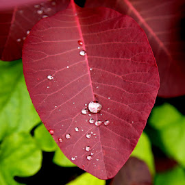 Ruscatinus by Caroline Beaumont - Nature Up Close Leaves & Grasses ( gren, red, drops, leaf, rain )