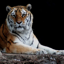 Sitting pretty by Kathryn Baity - Animals Lions, Tigers & Big Cats ( pose, zoo, tiger )