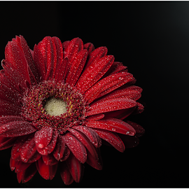 . by Liviu Suciu - Flowers Single Flower ( low contrast, black background, red, waterdrop, low key, colors, drops, low light )