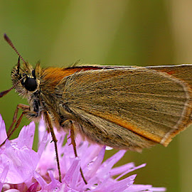 Small Skipper by Chrissie Barrow - Animals Insects & Spiders ( orange, wild, butterfly, green, abdomen, antennae, knapweed, insect, small skipper, bokeh, macro, wings, legs, tan, closeup, flower, eye, animal )