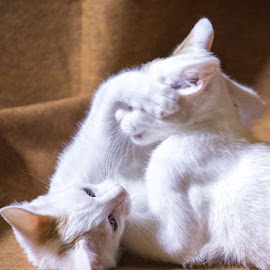 Brothers by Haru Yuki - Animals - Cats Playing ( playing, cats, cat, wrestling, kittens )