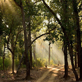 Rays through the trees by Ushashi Banerjee - Novices Only Landscapes ( sunrays, trees, forest, road, sunlight,  )
