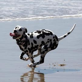 Pure Joy! by Suzi Wahl - Animals - Dogs Running ( #laciloo, #akcdalmatian )