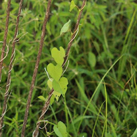 Wild vine by Terry Linton - Nature Up Close Leaves & Grasses