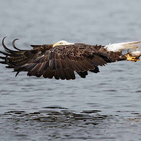 Bald eagle flying with fish by Jack Nevitt - Animals Birds ( talons, eagle, james river, fish, bald, fishing, catching )