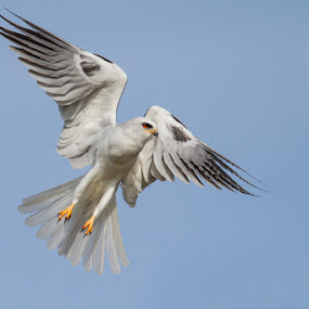 WTK by Phoo (mallardg500) Chan - Animals Birds ( raptor, white-tailed kite )