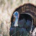 Rio Grande Wild Turkey