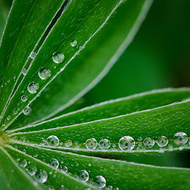 Dew Covered Lupine by Ellen Kawadler - Nature Up Close Natural Waterdrops ( plant, water drops, green, lupine, leaves )