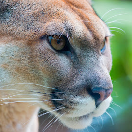 Concentration  by Paco Fernandez - Animals Lions, Tigers & Big Cats ( look, concentration, wildlife, puma, feline )