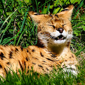 Serval au soleil by Gérard CHATENET - Animals Lions, Tigers & Big Cats