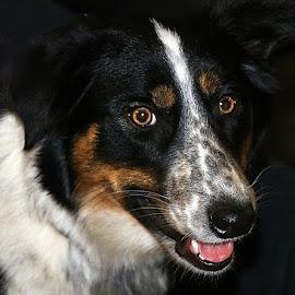 Sadie Lady! by Chrissie Barrow - Animals - Dogs Portraits ( spots, tongue, white, portrait, eyes, border collie, female, pet, ears, pink, tri-colour, dog, nose, tan, black )