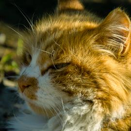 303... by Andrej Bojnec - Animals - Cats Portraits ( orange cat, cat, color, nikon, animal )
