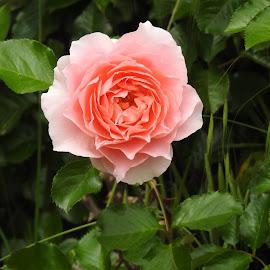 by Leslie Hunziker - Instagram & Mobile iPhone ( rose, plants, spring, flower )