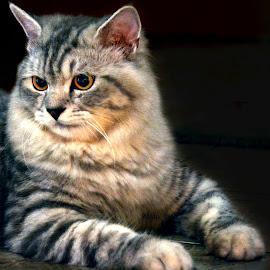 B i b o,,, by Encik Muchlis - Animals - Cats Portraits