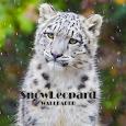 Snow Leopard Animal Wallpaper