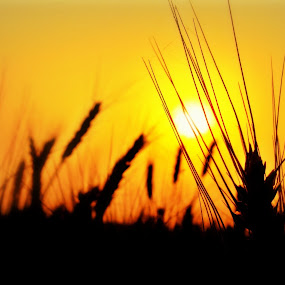 Sun Set Behind The Crop  Field by Tanmoy Adhikari - Landscapes Sunsets & Sunrises