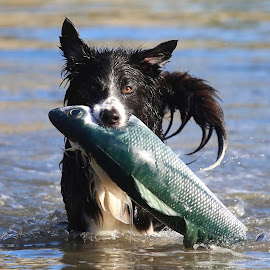 The Fish Catcher by Gareth Evans - Animals - Dogs Playing ( water, collie, border collie, splash, fishing )