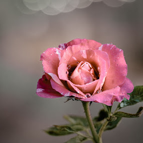 Multi colored Rose by Gunbir Singh - Flowers Single Flower ( multicolored rose, rose, gunbir, nikon )