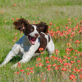 Playing in the Paintbrushes by Clinton White - Animals - Dogs Playing ( spaniel, floppy ears, flowers, dog, running )