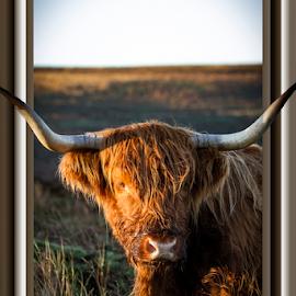 by Paul Scullion - Digital Art Animals ( digital art, framed, wildlife, cow, animal,  )