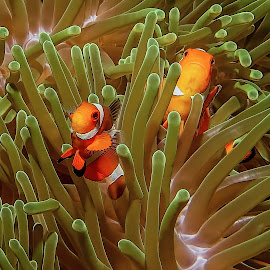 nemo and his cousin  by Peter Schoeman - Animals Fish ( coral, underwater, fauna, colorful, fish, anemone fish, tropical, undersea, vivid, underwater photography, wildlife, anemonefish, cute, exotic, swimming, macro, life, nature, anemone, soft-coral, striped, marine life, black, animal, water, marine, wild, orange, reef, green, beautiful, tropical fish, white, sea, habitat, uw photos, environment, clown, color, background, clownfish )