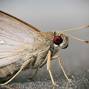red eye by Ateddi S - Animals Insects & Spiders