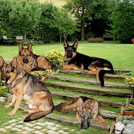 Family pack by Dawn Vance - Digital Art Animals ( dogs, digital art, dog portrait, german shepherd )
