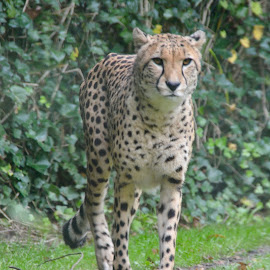 by Kim Rogge - Animals Lions, Tigers & Big Cats
