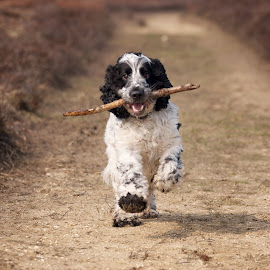 Cocker Spaniel by Paul Mansfield - Animals - Dogs Running ( stick, spaniel, happy, cocker spaniel, dog, running, cocker,  )