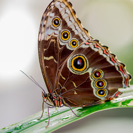 by Domingo Washington - Animals Insects & Spiders ( butterfly, macro, butterflies,  )