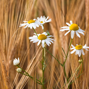 by Eriks Zilbalodis - Uncategorized All Uncategorized ( nature, daisies, white, summer, yellow )